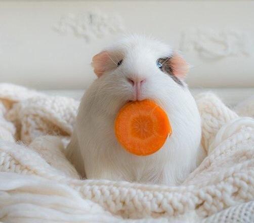 可爱猪萌宠图片大全可爱